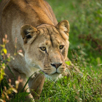 Lion at Knowsley Safari Park