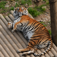 Tiger at Welsh Mountain Zoo in Colwyn Bay